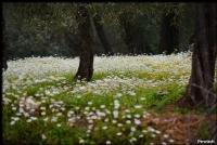 Zeytin Ağaçları Ve Papatyalar