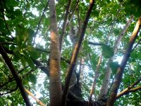 Dut Ağacı