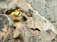 Zıpzıp Örümcek