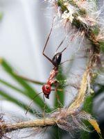 Amuda Kalkmış Karınca :)
