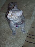 Süslü Kedi