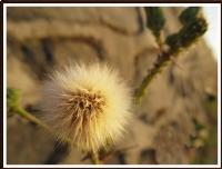 Tüylü Çiçek Makro 1