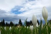 Son Vargit Çiçekleri