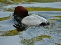 Pochard Ördeği