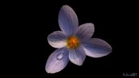 Bir Çiğdem Çiçeği
