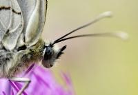Kelebeğin Portresi
