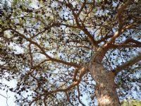 Gökyüzünü Saran Ağaç