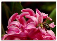 Arılar, Karıncalar (hymenoptera)