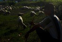 Gün Dğumunda Koyunlar
