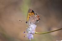Bakır Kelebeği