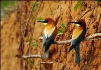 Arı Kuşları