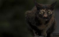 Asi Kedi