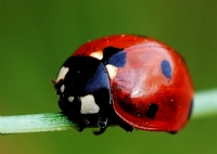 Uğur Böceği