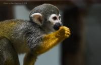Cüce Maymun