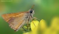 Kelebek (ochlodes)