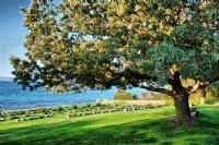Tek Ağaç