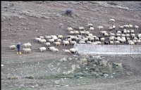 Sarı Çizmeli Çoban