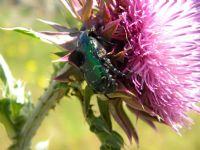 Yeşil Böcek