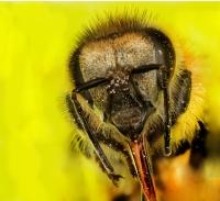 arı - Fotoğraf: Mehmet Ali Yalçın