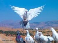 Malabadi' Nin Güvercinleri