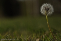 Galaxy Dandelion