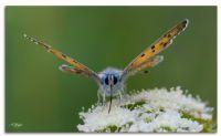 Mor Bakır Kelebeği