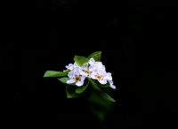 Armut Çiçegi