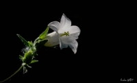 Çan Çiçeği(campanula Trachelium L. Subsp. Athoa)
