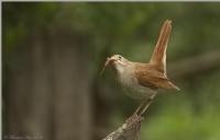 Bülbül Nightingale / Luscinia Megarhynchos