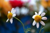 Kır Çiçeği Papatya...