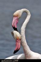 Flamingo Aşkı