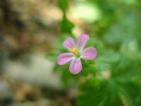 Ciciçek