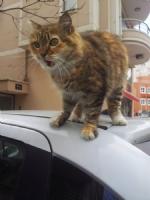 Hiddetli Kedi