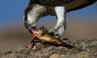 Balık Kartalı / Osprey