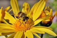 """Miniciks Hayatlar """"arı """""""