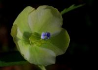 Kış Çiçeği