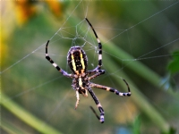 İhtiyar Örümcek