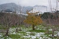 Kiraz Bahçelerinde Kar