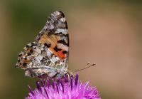 Diken Kelebeği (vanessa Cardui)