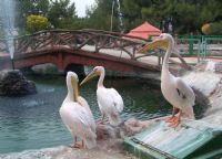 Albatros (pelikan)