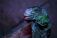 ... İguana ...