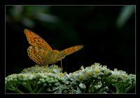 Bir Garip Kelebek...