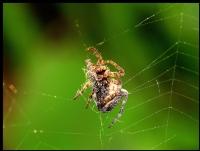 Ör Örümcek