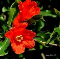 Nar Çiçeği...