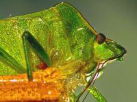 Pentatomidae Yeşile Veda