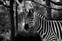 Zebra - Fotoğraf: Sercan Ilgın