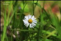 Sade Güzellik - Papatya