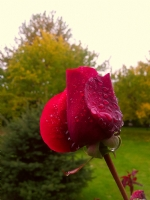 Rose ( Gül )