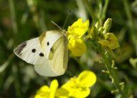 İlk Kelebeğim