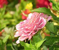 Pembe Çiçek...